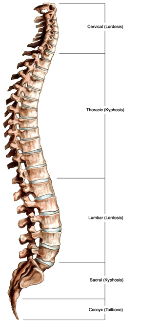 Spinal Anatomy New York City Cervical Spine Nyc Thoracic Spine Ny